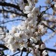 Sakura090418_2